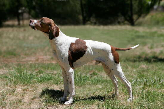 English Pointer Foto